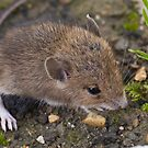 Baby Mouse by Quasebart