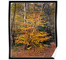 Sapling in autumn colours Poster
