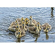 a gaggle of goslings Photographic Print