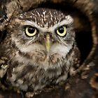 Little Owl by Matthew Walters