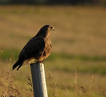 Dark Morph Swainson's Hawk by Ron Kube