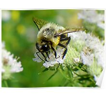 Bumble bee on white flower Poster