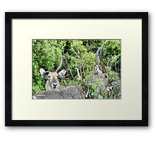 SURVIVAL - THE WATERBUCK - Kobus ellipsiprymnus - WATERBOK Framed Print