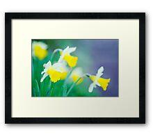 more daffodils... Framed Print