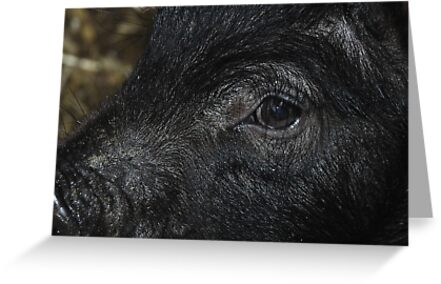 Pig Close Up by jord3949