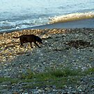Winthrop Beach Dog 3 by photosbycoleen