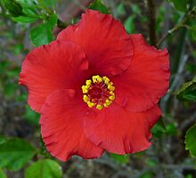 Hibiscus Flower - Up Close by stevealder