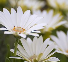 White daisy by Leanne Nelson