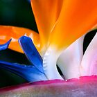 Bird of Paradise by Zach Pezzillo