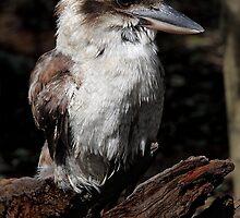 Kookaburra by Mark Bolton