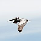 Pelican in Flight by MKWhite