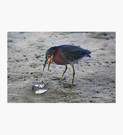 Heron Eating Fish Photographic Print
