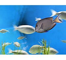 Young Blue Tang Photographic Print