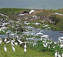 Cattle Egrets, The Hippo Pool, Ngorongoro Crater, Tanzania by Adrian Paul