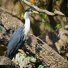 Pied Heron by D-GaP