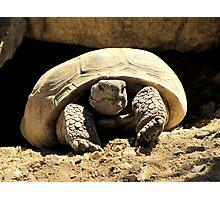 Desert Tortoise Photographic Print