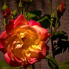 Duo-Color Rose by Gail Bridger