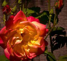 Duo-Color Rose by Gail Bridger