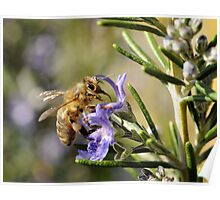 Bee on Rosemary Poster