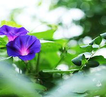 Morning Glory- peeping blossom in bloom by homemadeinchina