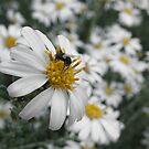 Olearia Pimeloides by binjy