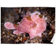 Pink frog fish - Lembeh Strait  Poster