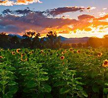 Lost In A Sunflower Dusk  by John  De Bord Photography