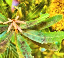 Banksia Robur Sticker