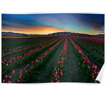 Tulip Garden at sunrise, Pacific Northwest Poster
