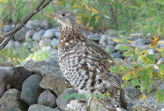 Young Pin Tail Grouse by MaeBelle