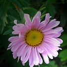 Pink aster by Maria1606