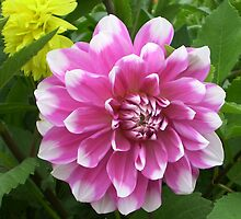white tipped dahlia by Linda  Makiej