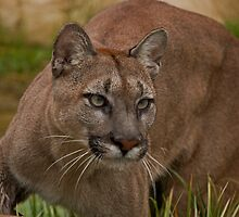 Viktoria, a puma hunting. by JMChown