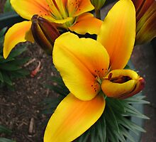 Anther Emerging - Lily Bud Opening by BlueMoonRose