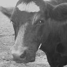 Black & White Cow in Black & White by teresa731