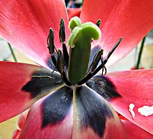 Reproductive Apparatus - Red Tulip Supermacro by BlueMoonRose