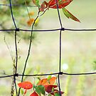 A Tinge of Autumn on the Fence by Ruth Lambert