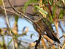 Allen's Hummingbird ~ (Subadult Male) by Kimberly Chadwick