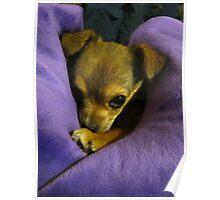 Baby Chihuahua - Mocha Poster