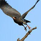Dark chanting goshawk in flight by jozi1