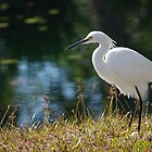 Egret by Karen Checca