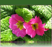 Raindrops on Pink Primrose Pair by BlueMoonRose