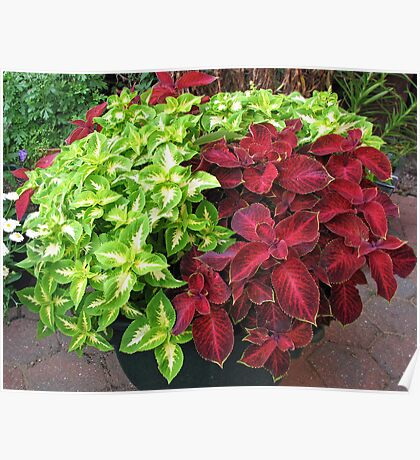 Pretty Bushes with Variegated Green and Crimson Leaves Poster