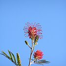 STRIKING RED GREVILLEA! Minnie waters N.S.W. by Rita Blom