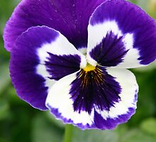 Purple Pansy by triciaoshea