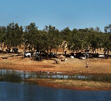 Cattle by the Billabong by myraj
