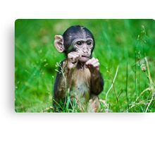 One step closer,,,,,,,,,,,,,  Eight week old Monkey Canvas Print