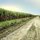 Sugar Cane Lane by catrionam