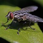 Flesh Fly by JayWolfImages