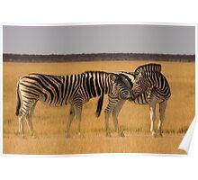 Burchell's Zebra - Etosha National Park Poster
